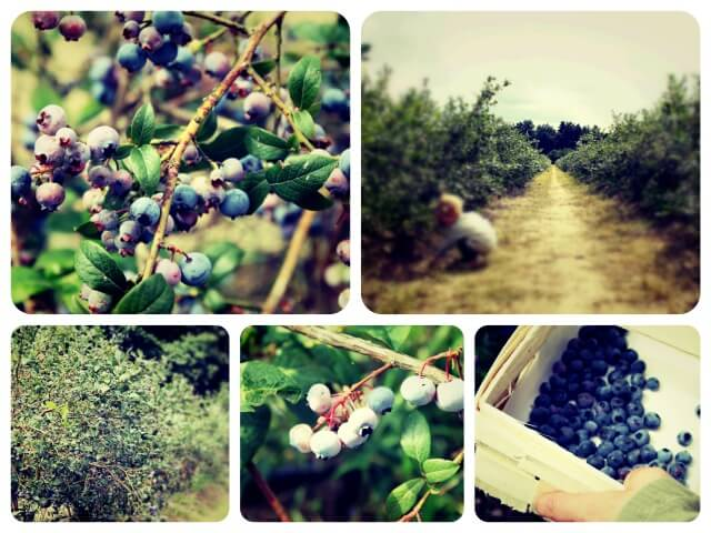 Blaubeeren_2_Collage